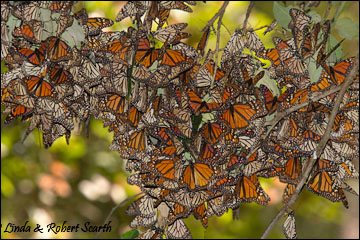Monorch Butterflies at the Preserve in Mexico