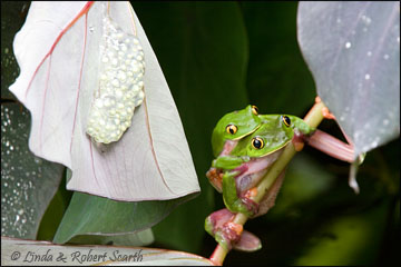 Golden-eyed Treefrog