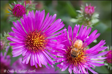 Aster and Bee