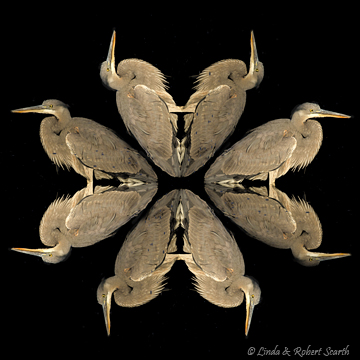 Great Blue Heron Kaleidoscopic