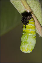 Monarch caterpillar chrysalizing