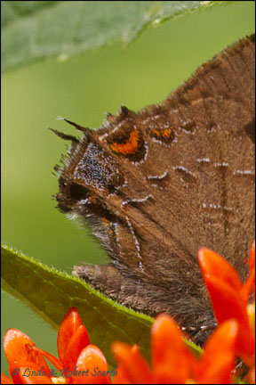Banded Hairstreak tails