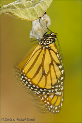 Impressionistic Monarch