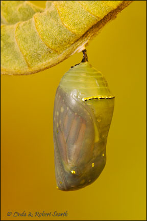 Monarch - Ready to Hatch