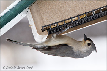 tufted-titmouse2