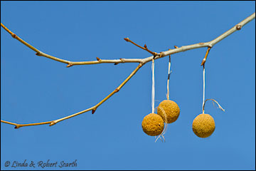 sycamore-seeds