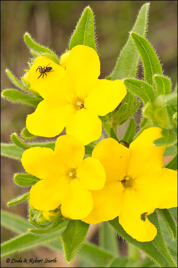 puccoon-spider