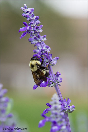 bumble bee on salvia