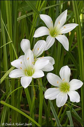 Jamestown (Atamasco) Lily